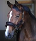 Kentucky Horsewear Halfter Nylon Lammfell - braun